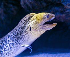 海のギャング ウツボ シャチ